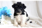 Picture of Joey - Schnoodle Male