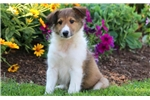 Picture of CJ - Sheltie Male