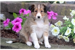 Holly - Sheltie Female | Puppy at 10 weeks of age for sale