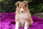 Picture of Minnie - Sheltie Female