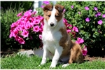 Picture of Harley - Sheltie Male