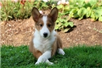 Picture of Dutchess - Sheltie Female