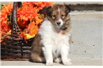 Picture of Bandit - Sheltie Male