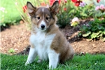 Picture of Devin - Sheltie Male