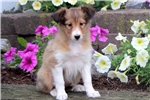 Hope - Sheltie Female | Puppy at 10 weeks of age for sale
