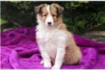 Picture of Marge - Sheltie Female