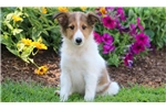 Picture of Cane - Sheltie Male