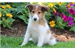 Picture of Cinnamon - Sheltie Female