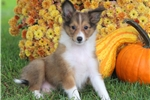 Picture of Rascal - Sheltie Male