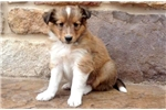 Picture of Sunny - Sheltie Male