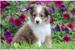 Picture of Cody - Sheltie Male