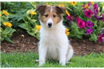 Picture of Champ - Sheltie Male