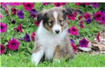 Picture of Chase - Sheltie Male