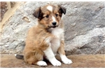 Picture of Spring - Sheltie Female