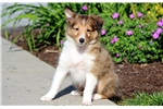 Picture of Drake - Sheltie Male