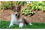 Picture of Dapper - Sheltie Male