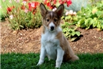 Picture of Dixie - Sheltie Female