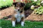 Picture of Dolly - Sheltie Female