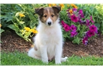 Picture of Charlie - Sheltie Male