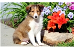 Dylan - Sheltie Male | Puppy at 15 weeks of age for sale