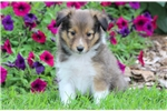 Picture of Cylo - Sheltie Male
