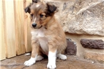 Picture of Sparky - Sheltie Male