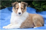 Picture of Marz - Sheltie Male