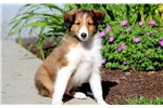 Picture of Dylan - Sheltie Male