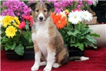 Picture of Thomas - Sheltie Male