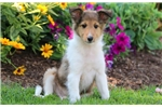 Picture of Cinderella - Sheltie Female