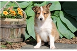 Picture of Lucy - Sheltie Female