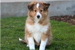 Picture of Gino - Sheltie Male