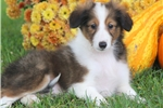 Picture of Rex - Sheltie Male