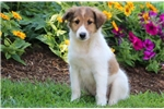 Picture of Curtis - Sheltie Male