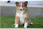 Picture of Gunther - Sheltie Male