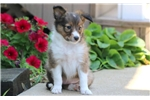 Picture of Josie - Sheltie Female