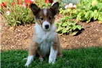 Picture of Dezi - Sheltie Female
