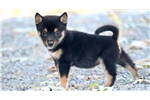 Picture of Lady - Shiba Inu Female