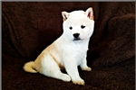 Checkers - Shiba Inu Male | Puppy at 7 weeks of age for sale