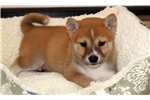Picture of Major - Shiba Inu Male