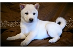 Annie - Shiba Inu Male | Puppy at 8 weeks of age for sale