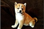 Charmer - Shiba Inu Male | Puppy at 7 weeks of age for sale