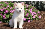 Mighty - Shiba Inu Male | Puppy at 9 weeks of age for sale