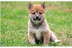 Picture of Bethany - Shiba Inu Female