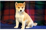Picture of Panther - Shiba Inu Male