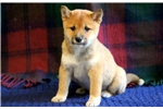 Picture of Precious - Shiba Inu Female