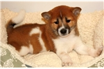 Picture of Molly - Shiba Inu Female