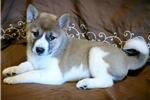 Ava - Shiba Inu Male | Puppy at 8 weeks of age for sale