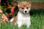 Picture of Gage - Shiba Inu Male