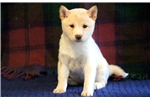 Picture of Princess - Shiba Inu Female